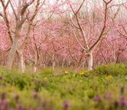 绽放的桃子果树园 库存图片