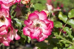 绽放的桃红色庭院罗斯 免版税库存照片