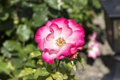 绽放的桃红色庭院罗斯 库存照片