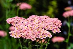 绽放的桃红色欧蓍草植物 库存图片