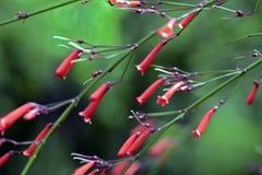 绽放的爆竹植物 免版税图库摄影