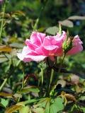 绽放粉红色上升了 免版税图库摄影