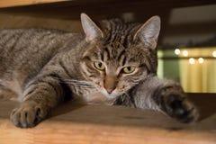 放置副平纹的猫 库存图片