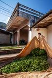 放置叶子的茶农在织品在自然干燥的庭院 土井美斯乐,清莱,泰国 免版税图库摄影