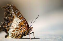 放置在一个热带雀鳝的地面上的布朗和白色蝴蝶 库存照片