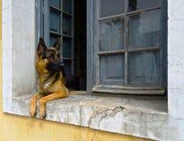 放置在一块土气窗口基石的德国牧羊犬狗 库存图片