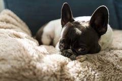 放置在一条米黄长发毯子顶部的法国牛头犬品种的狗 库存照片