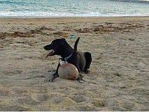 放置在与橄榄球的海滩的狗 免版税图库摄影