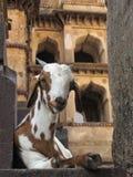 放置在印度寺庙背景的山羊的画象在奥拉奇哈 免版税库存图片