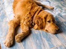 放置在地板的狗画象 库存图片