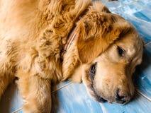 放置在地板的狗画象 免版税库存照片
