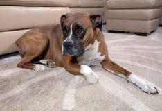 放置在地毯的拳击手狗在沙发附近 免版税库存图片
