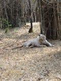 放置在地面的白色老虎 免版税库存照片