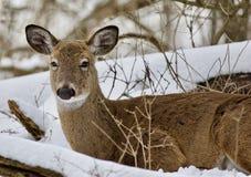放置在多雪的森林里的一头野生鹿的美好的图象 库存图片