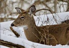 放置在多雪的森林里的一头野生鹿的美好的图象 库存照片