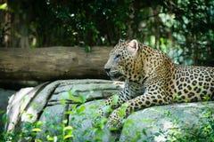 放置在密林的一头老被察觉的豹子 免版税库存图片