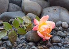 放置在小卵石和浅水区床的黄色和桃红色玫瑰与包括一切的水下落 图库摄影