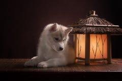 放置在新月形月亮的一只多壳的小狗 库存照片