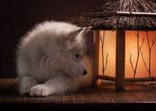 放置在新月形月亮的一只多壳的小狗 库存图片