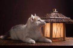 放置在新月形月亮的一只多壳的小狗 免版税库存图片