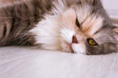 放置在木地板的蓬松懒惰猫 免版税库存照片
