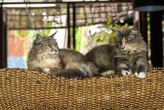 放置在木床的夫妇猫 库存图片