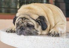 放置在桌的肥胖哈巴狗狗 免版税库存图片