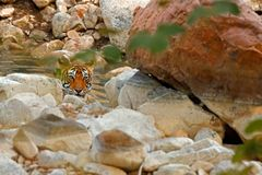 放置在森林水池的老虎 狂放的亚洲 与第一雨,野生动物在自然栖所, Ranthambore,印度的印地安老虎 免版税库存照片