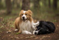 放置在森林里的博德牧羊犬 库存图片