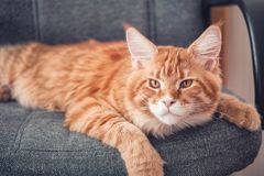 放置在椅子和看照相机的红色缅因浣熊小猫 库存图片