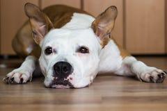 放置在楼层的狗 免版税库存图片