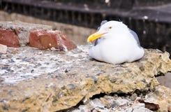 放置在残破的混凝土板的海鸥 免版税库存图片
