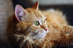 放置在沙发的周道的姜猫 免版税库存照片