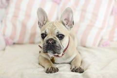 放置在沙发的Loveley小狗法国牛头犬 免版税库存照片