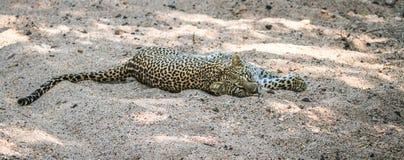 放置在沙子的豹子 免版税图库摄影
