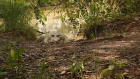 放置在沼泽银行的鳄鱼 股票视频