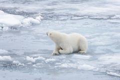 放置在浮冰块的狂放的北极熊 免版税库存图片