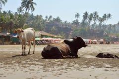 放置在海滩的母牛 免版税库存图片