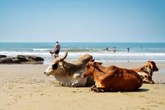 放置在海滩的母牛 图库摄影