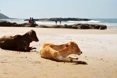 放置在海滩的母牛 免版税库存照片