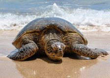 放置在温暖的沙子的巨型绿浪乌龟 免版税库存图片