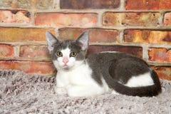 放置在灰色地毯的灰色和白色平纹小猫 图库摄影