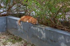 放置在灰色混凝土墙的逗人喜爱的懒惰红色猫在温暖的夏日 华美的自然背景 库存照片