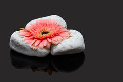 放置在白色岩石和黑暗的表面反射的桃红色大丁草 库存照片
