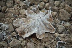 放置在石头的结冰的橡木叶子盖用树冰 库存照片