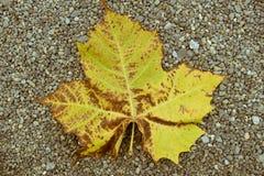 放置在石渣的秋天叶子在新宿Gyoen公园,东京,日本研了 免版税库存图片