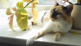 放置在窗口的滑稽的多彩多姿的猫 在花附近的困全部赌注 晴朗的天气 股票视频