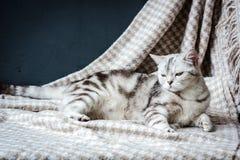 放置在织品的怀孕的灰色猫 库存图片