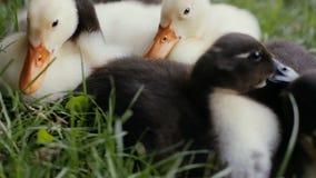 放置在绿草的鸭子特写镜头在公园 股票视频