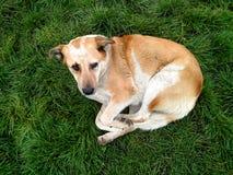 放置在绿草的黄色哀伤的看的狗 库存图片